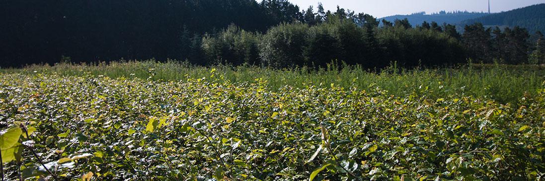 Feld- und Landschatsgehölze aus dem Sauerland