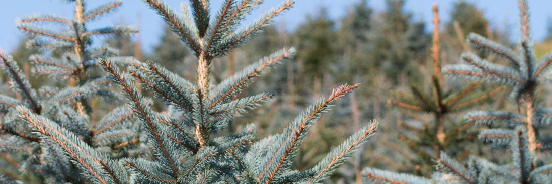 Weihnachtsbaum Kultur im Sauerland - Fertigware nach Ihren Anforderungen