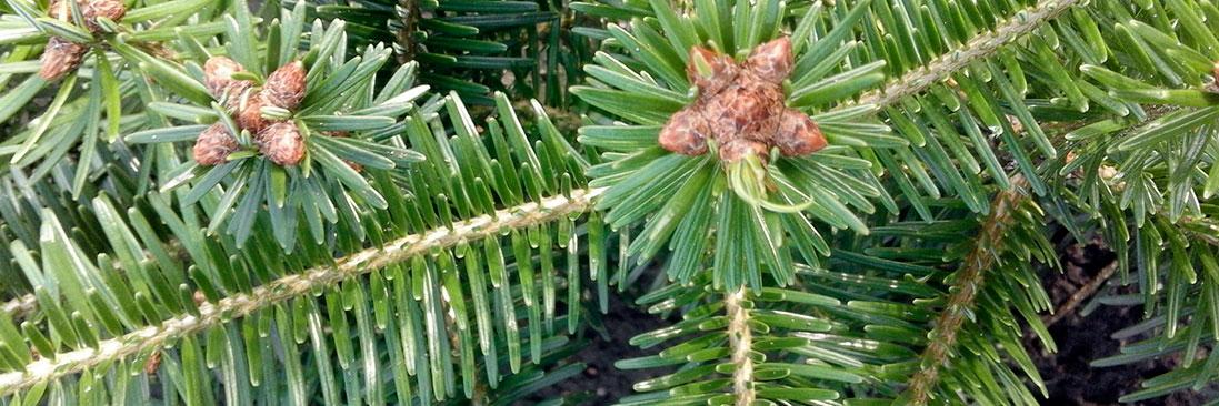 weihnachtsbaum Jungpflanzen, direkt vom Hersteller