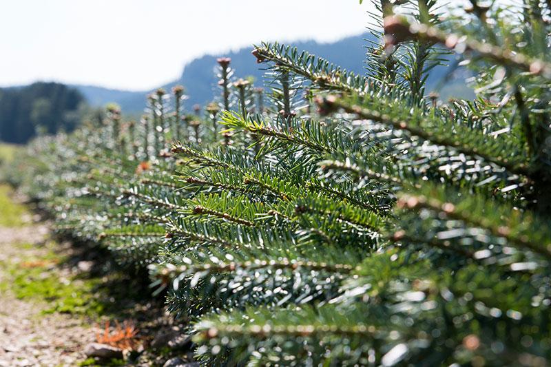 Weihnachtsbaum jungpflanzen verschiedene sorten zur anzucht - Weihnachtsbaum kiefer ...